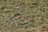 Outarde du Sénégal - White-bellied Bustard