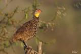 Francolin à cou jaune - Yellow-necked Spurfowl