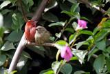 Amarante du Sénégal - Red-billed Firefinch