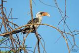 Calao de Jackson - Jackson's hornbill