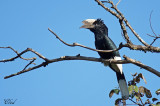 Calao à joues grises - Black-and-white-casqued Hornbill (male)