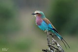 Rollier à longs brins - Lilac-breasted roller