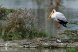 Tantale ibis - Yellow-billed stork