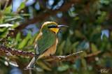 Guêpier nain - Little bee-eater