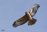 Aigle fascié - African Hawk-eagle