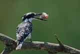 Martin-pêcheur pie - Pied kingfisher