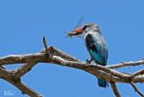 Martin-chasseur du Sénégal - Woodland kingfisher