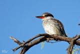 Martin-chasseur strié - Striped kingfisher