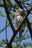 Chevêchette perlée - Pearl-spotted owlet
