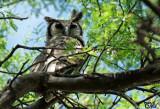 Grand-duc de Verreaux - Verreaux's Eagle-owl