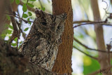 Petit-duc africain - African scops owl