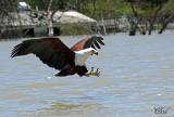 Pygargue vocifer - African fish-eagle