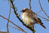 Mahali à sourcils blancs - White-browed Sparrow-weaver