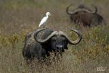 Héron garde-boeufs  et buffle - Cattle egret and buffalo