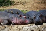 Piqueboeufs à bec jaune et hippopotames! - Yellow-billed Oxpeckers and hippos !