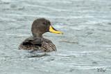 Canard à bec jaune - Yellow-billed duck