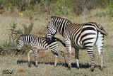 Zèbres - Zebra