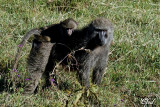 Babouins olive - Olive baboon