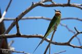 Guêpier de Madagascar - Madagascar bee-eater