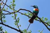 Souimanga à longue queue - Beautiful sunbird