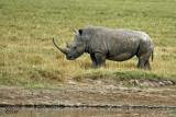 Rhinocéros blanc - White rhino
