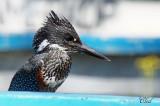 Martin-pêcheur géant - Giant Kingfisher