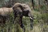 Éléphant d'Afrique - African elephant