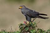 Faucon ardoisé - Grey kestrel