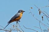 Gobemouche argenté - Silverbird