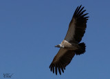 Vautour africain - African white-backed vulture