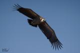 Vautour de Ruppell - Ruppell's vulture