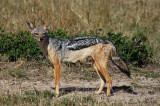 Chacal à chabraque - Black-backed Jackal