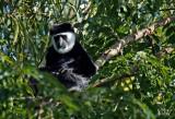 Singe colobus - Black and white Colobus
