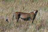 Guépard - Cheetah
