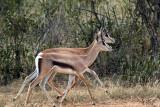 Gazelles de Thomson - Thomson's Gazelle