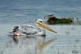 Pélican gris - Pink-backed Pelican