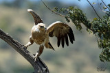 Aigle ravisseur - Tawny Eagle