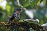 Coucou solitaire - Red-chested cuckoo