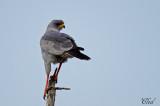 Autour à ailes grises - Eastern Chanting-Goshawk
