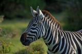 Zèbre -Zebra