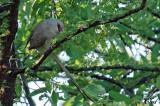 Coliou huppé - Blue-naped Mousebird