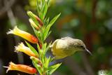 Souimanga à ventre jaune - Variable Sunbird