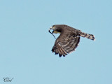 Circaète à poitrine noire - Black-chested Snake-Eagle