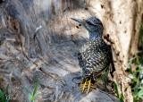 Pic de Nubie - Nubian Woodpecker