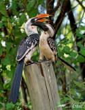 Calao de Jackson - Jackson's hornbill (male and female)