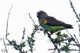 Perroquet de Meyer - Meyer's Parrot