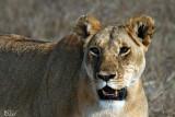 Lionne - Lioness