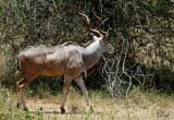 Grand koudou - Greater Kudu