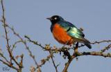 Choucador superbe - Superb Starling