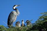 Héron mélanocéphale - Black-headed Heron